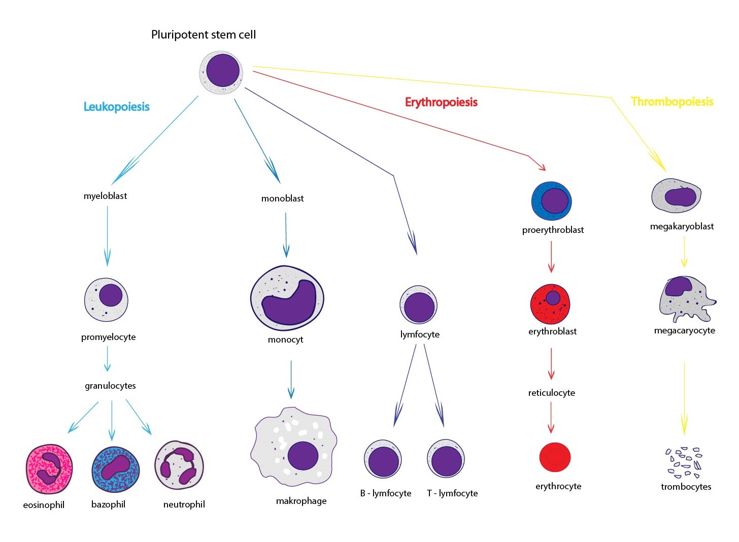 Thrombocytes structure